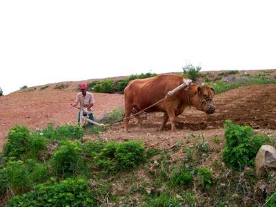 Korean farmer and animal